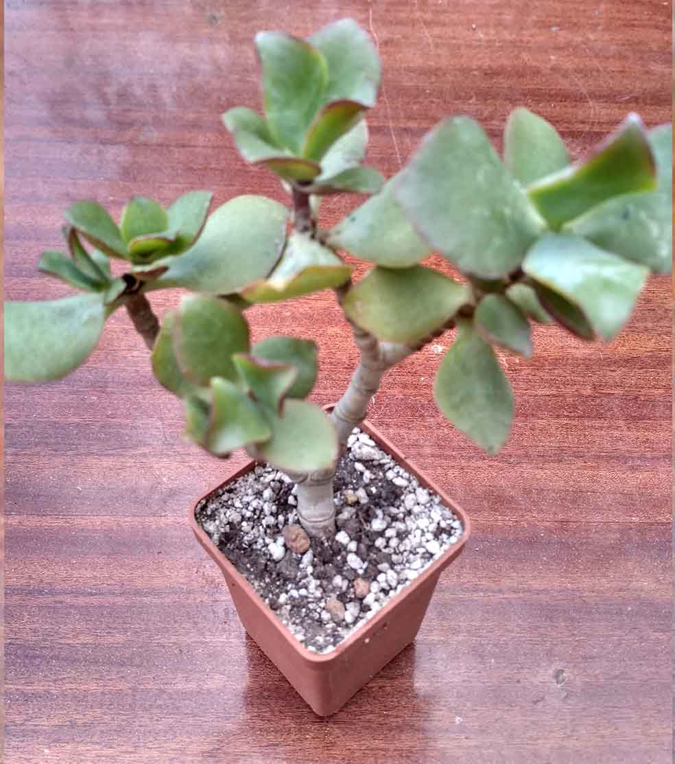 030_crassula Blue Bird_30.jpg