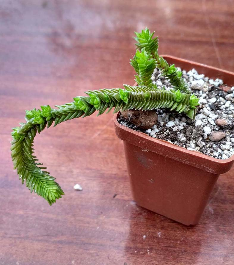 035_crassula_Jacobsena_35.jpg